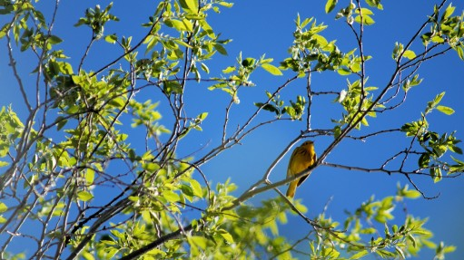 Male yellow warbler.