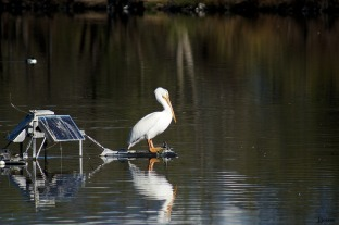 White pelican on a platform. Not sure what the story is behind the solar panel.