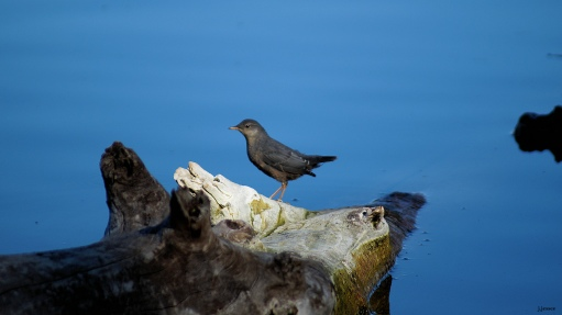 American Dipper... the thrill of the day!