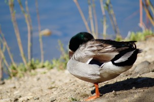 Mallard, resting and probably not enjoying my intrusion.