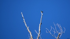 Tree swallow, way up there.